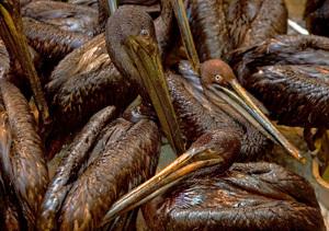 aves cubiertas de petróleo