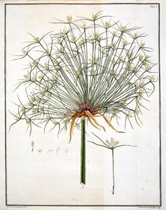 Cirillo planta abierta, pergamino de Herculano para exposición en Madrid