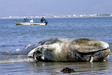 ballena muerta en la orilla del mar
