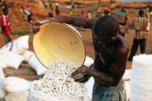 Un hombre recoge mandioca en el Congo