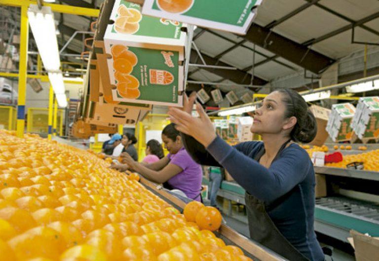 mujeres trabajando en una cadena de producción embalaje naranjas