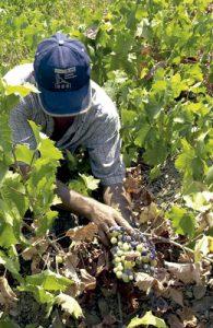 hombre agricultor trabajando en la vendimia recogiendo uvas