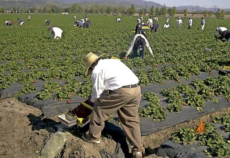 grupo de trabajadores inmigrantes trabajando en el campo huerta agricultores