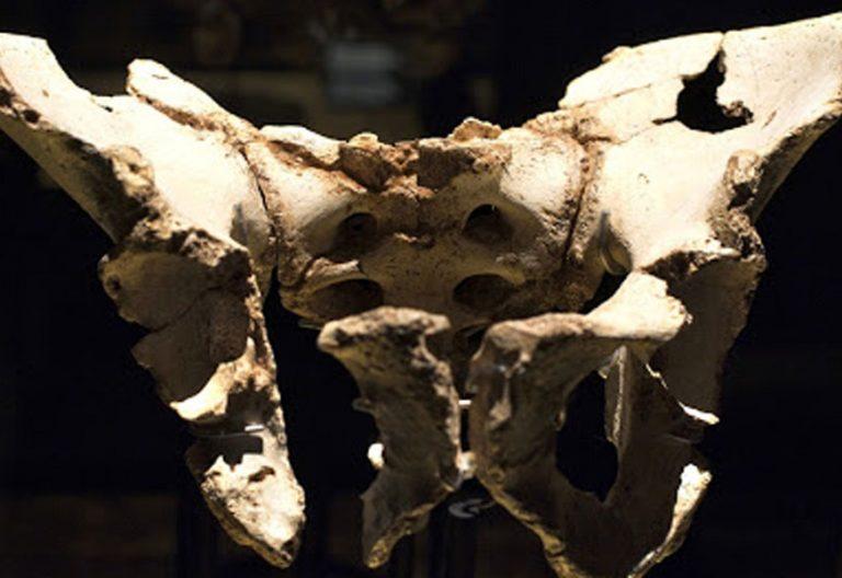 Troz de pelvis hallada en los yacimientos de Atapuerca y bautizada con el nombre de Elvis