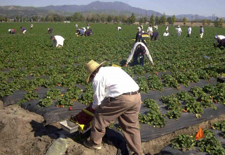 Temporeros trabajando en la recogida de la fresa en Andalucía. Foto: Cáritas
