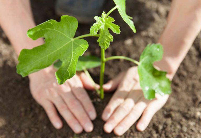 Manos plantando una higuera