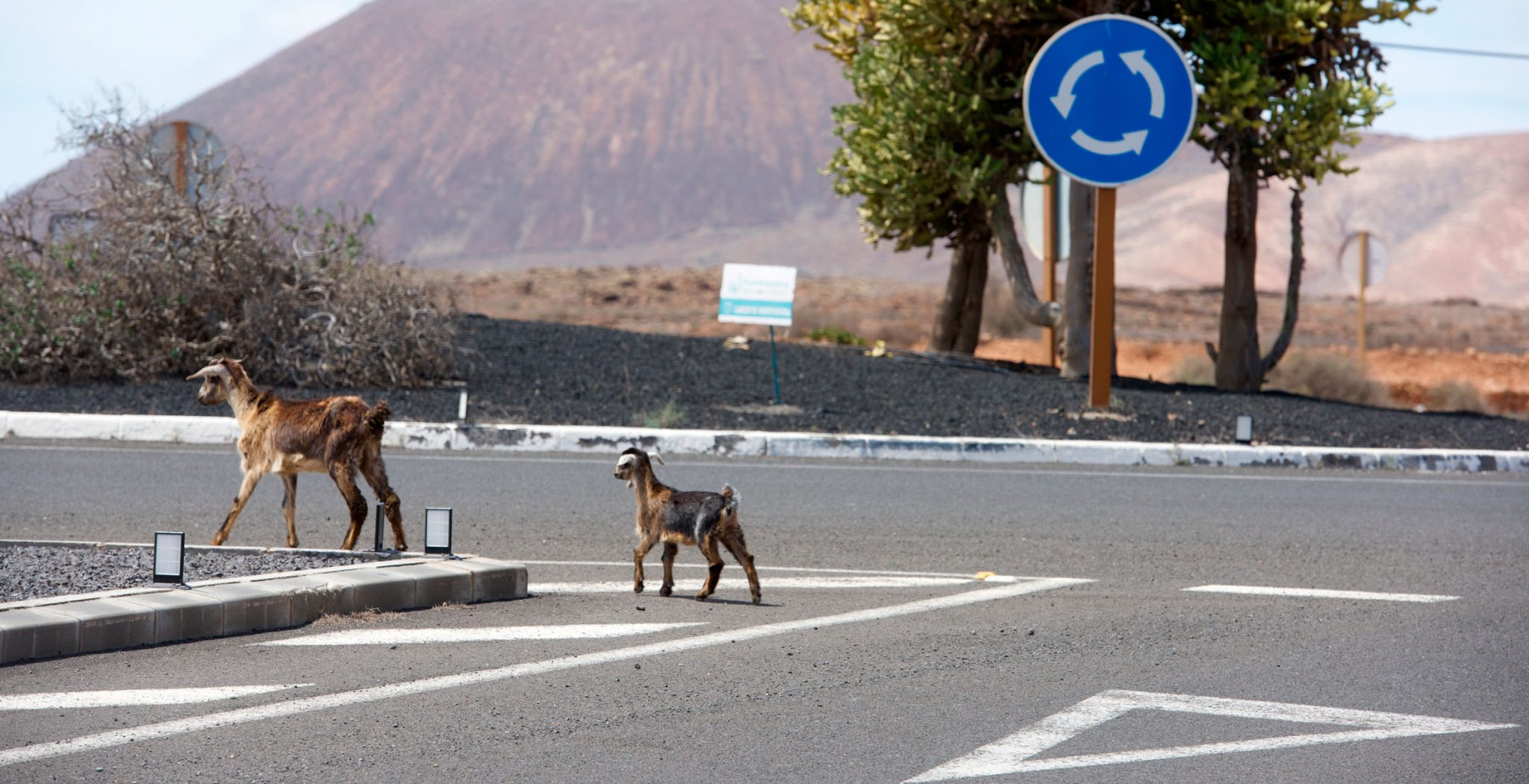 Fuerteventura. Cabras caminando en medio de la ciudad