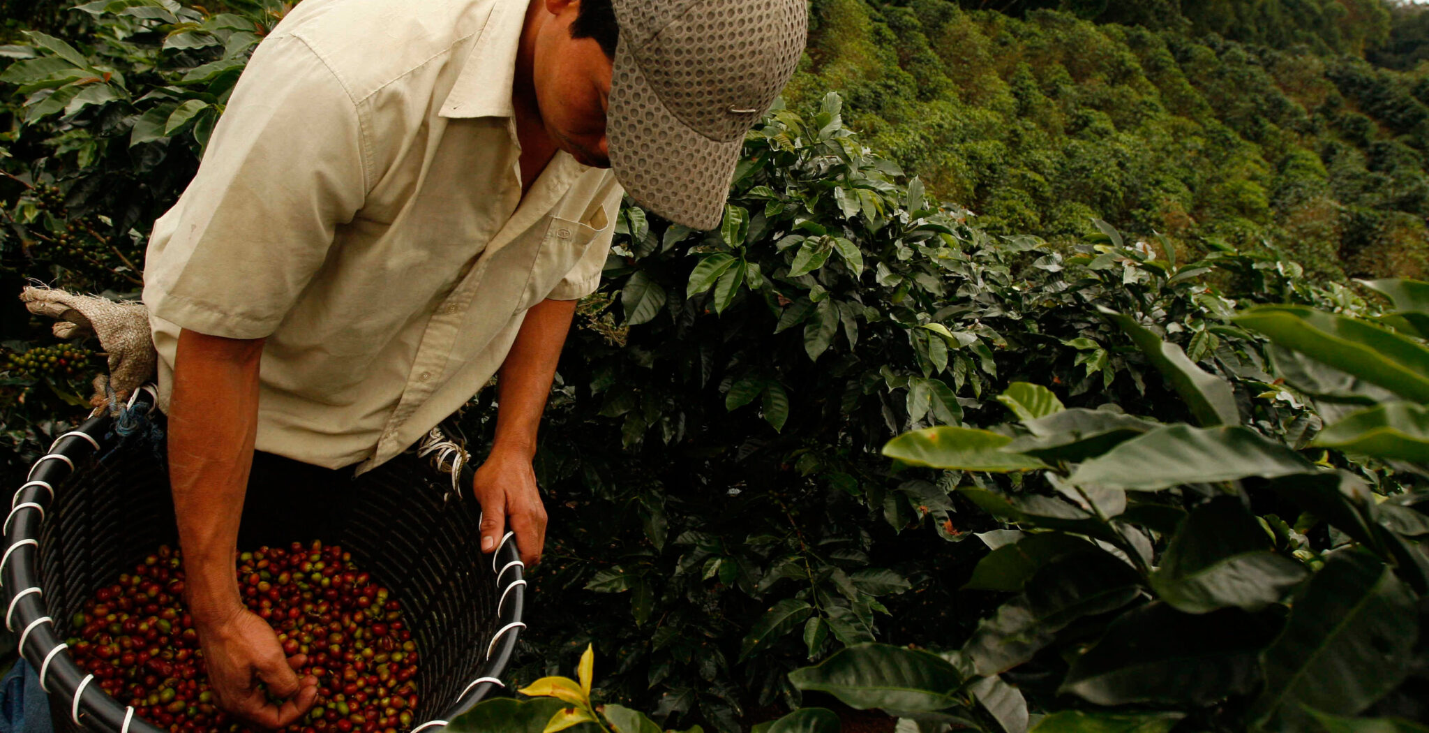 trabajo, recolectores de café