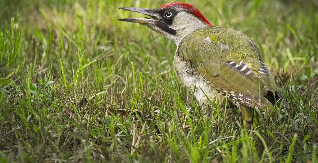Picus viridis pájaro