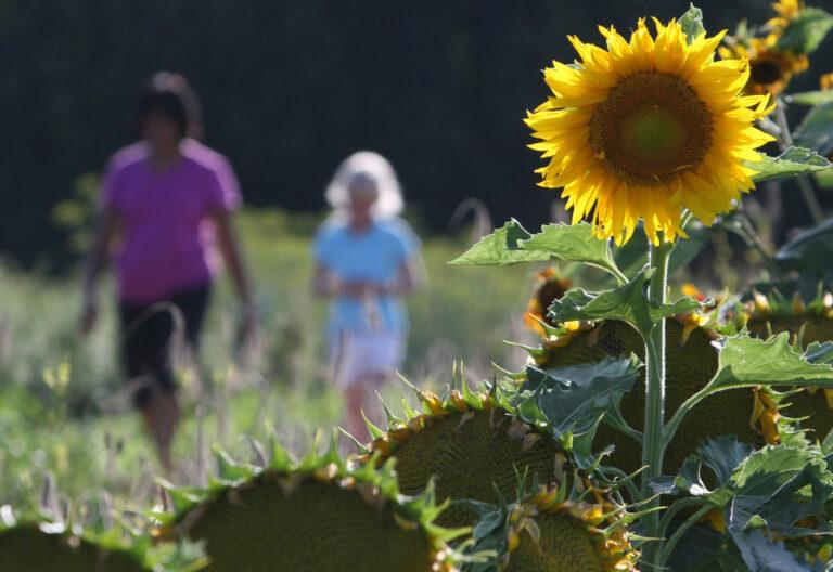 Un girasol abierto en primer plano. De fondo, una madre y una hija paseando por el campo
